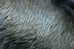 Shiny black fur of dog Stock Photo
