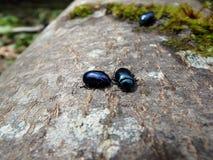 Shiny blue beetle Stock Photo