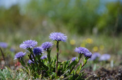Shiny blue diasies Royalty Free Stock Images