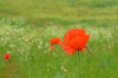 Free Shiny Bright Red Poppy Flower With Green Background Stock Photography - 195818982