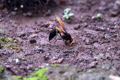 Shiny brown winged black wasp perched on the ground stock image