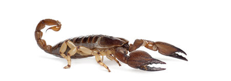 Shiny Burrowing Scorpion Stock Images