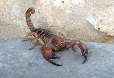 Shiny Burrowing Scorpion Stock Photo