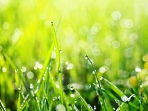 Shiny clear dew drops on green grass early on a Sunny morning in. The bright rays Royalty Free Stock Photo