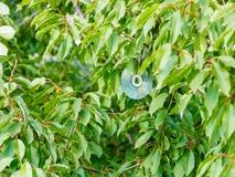 Shiny compact disc on black cherry tree Stock Photos