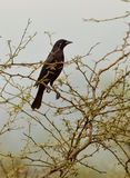 Shiny Cowbird. A Shiny Cowbird (Molothrus bonariensis) perches on a spiny bush in the Chaparri nature reserve in northwestern Peru Stock Images