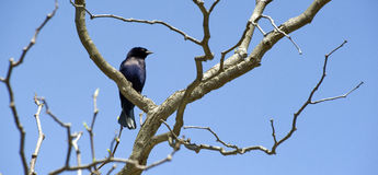 Shiny cowbird, the destroyer of eggs Royalty Free Stock Photography