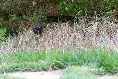 Shiny cowbird male bird on the ground. By the nest Stock Photography