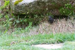 Shiny cowbird male bird on the ground. By the nest Stock Images