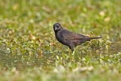 Shiny cowbird, Molothrus bonariensis Stock Images