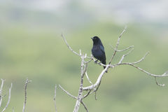 Shiny Cowbird Royalty Free Stock Image