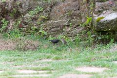 The shiny cowbird parasitizing the rufous collared sparrow. On the ground Royalty Free Stock Photos