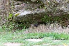 The shiny cowbird parasitizing the rufous collared sparrow. On the ground Stock Photos