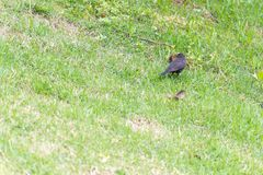 The shiny cowbird parasitizing the rufous collared sparrow. On the ground Royalty Free Stock Photography