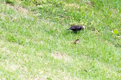 The shiny cowbird parasitizing the rufous collared sparrow. On the ground Stock Images