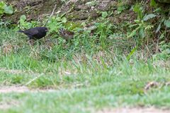 The shiny cowbird parasitizing the rufous collared sparrow. On the ground Stock Image