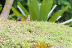 The shiny cowbird parasitizing the rufous collared sparrow. On the ground Royalty Free Stock Photo