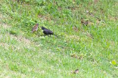 The shiny cowbird parasitizing the rufous collared sparrow. On the ground Stock Photo