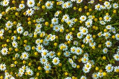Shiny daises flowers in a sunny day royalty free stock image