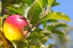 Shiny delicious apple Royalty Free Stock Image