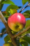 Shiny delicious apple Royalty Free Stock Photos