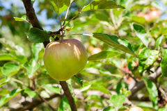 Shiny delicious apples hanging from a tree branch in an apple or Royalty Free Stock Image