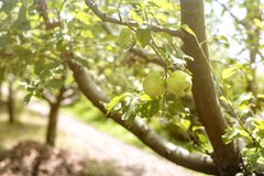 Shiny delicious apples hanging from a tree branch in an apple orchard Royalty Free Stock Images