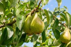 Shiny delicious pears hanging from a tree branch in the orchard. Stock Photos