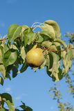 Shiny delicious pears hanging from a tree branch in the orchard. Stock Images