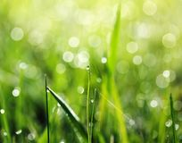 Shiny dew drops on green grass early on a Sunny morning in the b. Shiny clear dew drops on green grass early on a Sunny morning in the bright rays Stock Photography