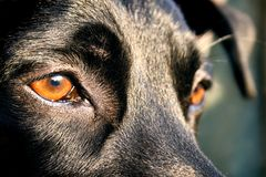 Shiny dog. Eyes of a dog looking at the sunset Royalty Free Stock Photo