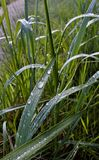 Drop of morning dew on the grass Stock Photography