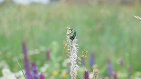 Shiny emerald green flower chafer beetle on beautiful plantain flower in a meadow stock video