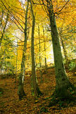 Shiny golden beech forest Royalty Free Stock Photos