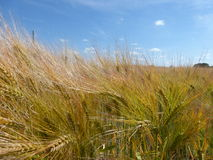 Shiny grain fields. Picture of shiny grain fields Stock Images