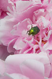 Shiny green beetle Stock Photography