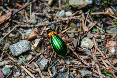 Shiny Green Bug Royalty Free Stock Image