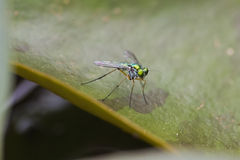 Shiny Green Fly with Rainbow wings Stock Photography