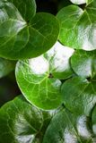 Shiny green leaves of asarabacca (Asarum europaeum) Stock Image