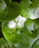 Shiny green leaves of asarabacca (Asarum europaeum) Royalty Free Stock Image