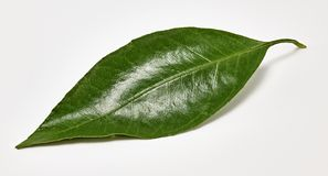 Shiny green tangerine leaf on a white background. Macro shooting royalty free stock photos