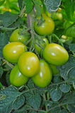 Shiny green tomatoes stock images