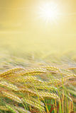 Shiny harvesting field with bright sun Stock Photography