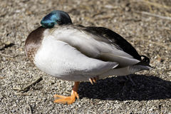 Shiny healthy mallard duck with raised foot and head tucked into. Body ready for sleep, eye open looking out Royalty Free Stock Images
