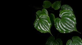 Shiny heart shaped green leaves after rain of climbing perennial Royalty Free Stock Image