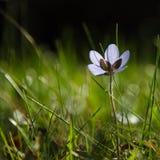 Shiny Hepatica flower Royalty Free Stock Photography