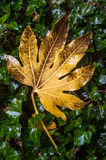 Shiny horse chestnut tree leaf Stock Photography