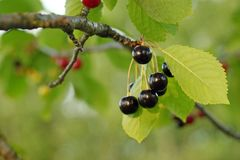 Wild cherries on a brunch with green leaves royalty free stock images