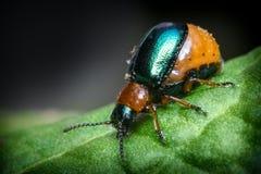Shiny Leaf Beetle Stock Photography