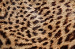 Shiny Leopard fur with the classic dark shapes 2 Stock Photography